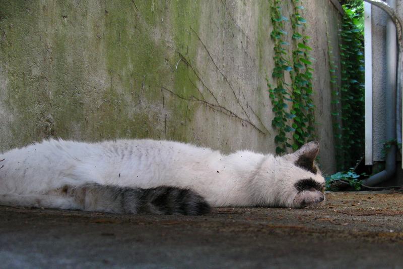 後ろ向きの白キジ猫1
