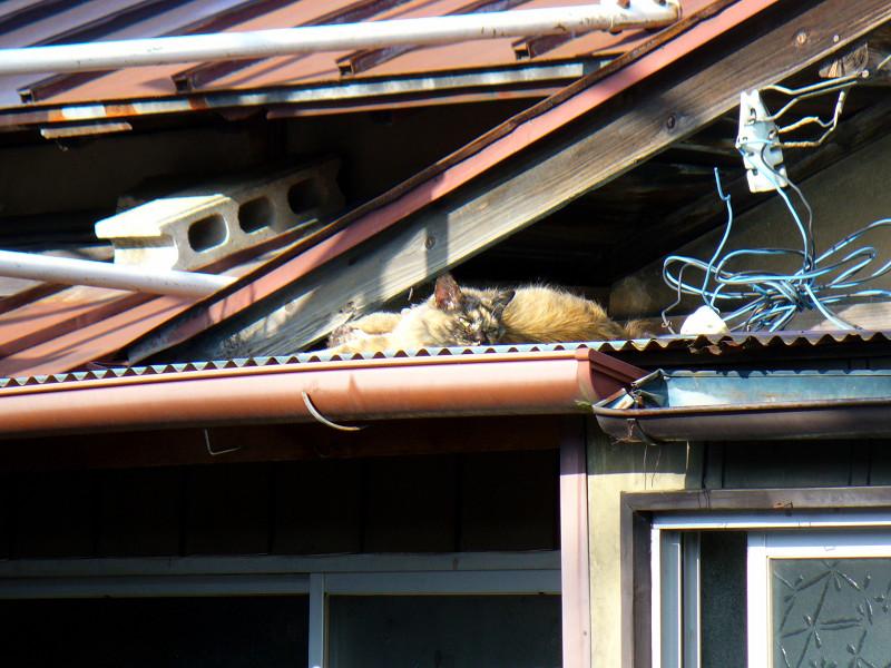 トタン屋根とサビ柄猫1