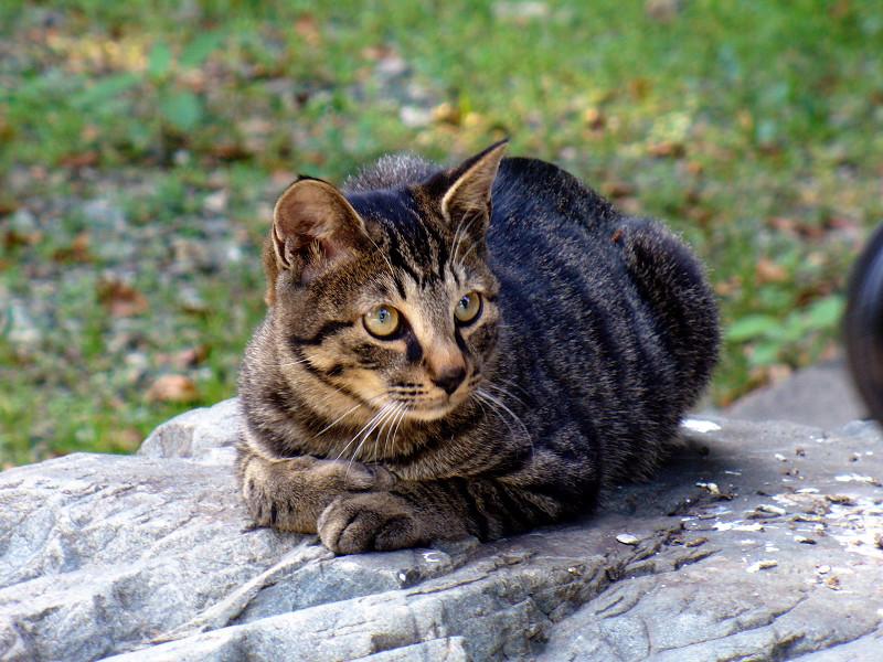 岩の上のキジトラ猫1