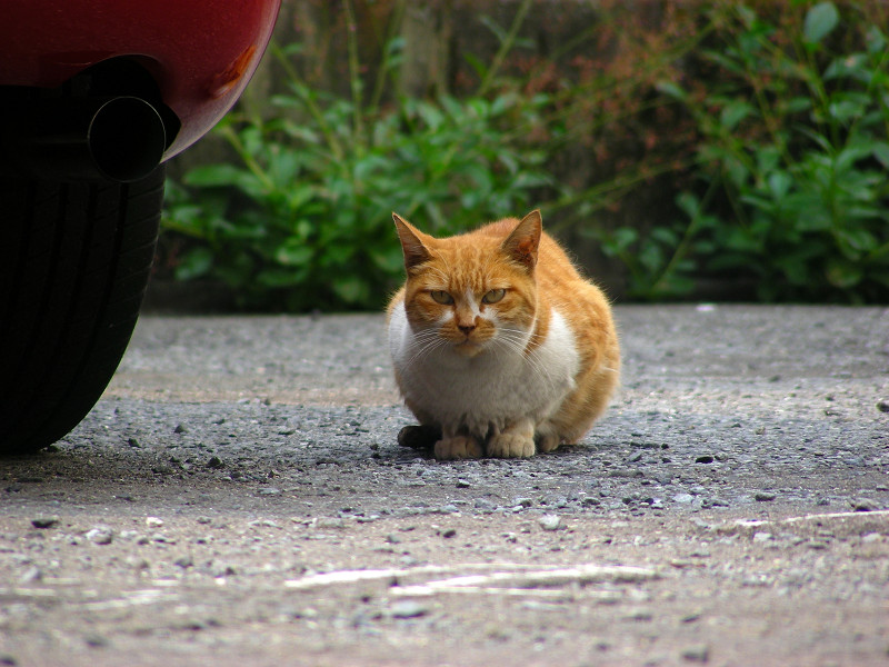 丸い茶白猫2