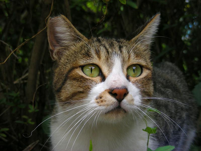 緑の瞳と赤い鼻のキジ白猫2