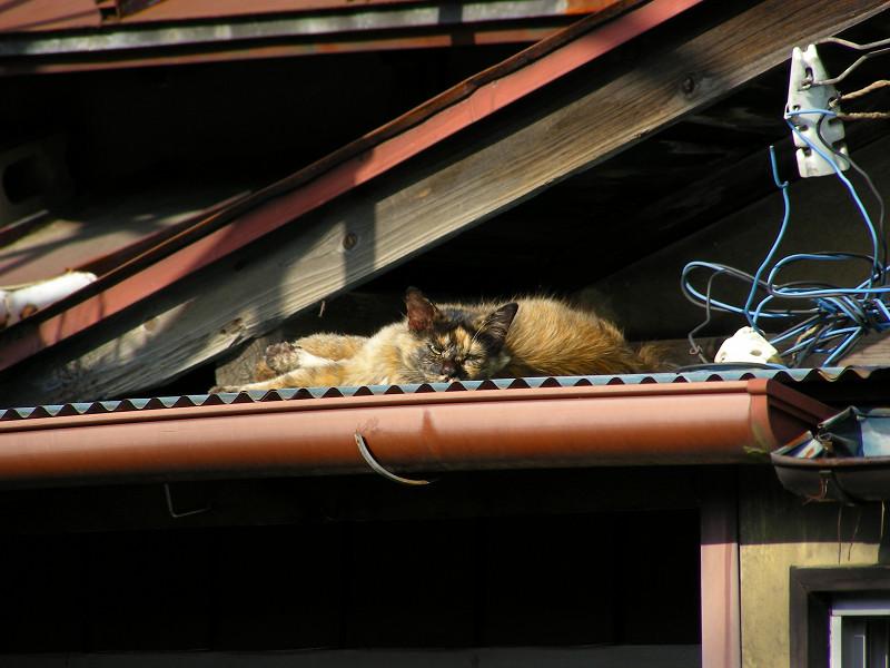 トタン屋根とサビ柄猫2