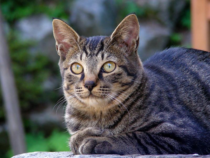 岩の上のキジトラ猫2