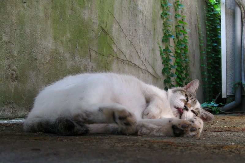 後ろ向きの白キジ猫2