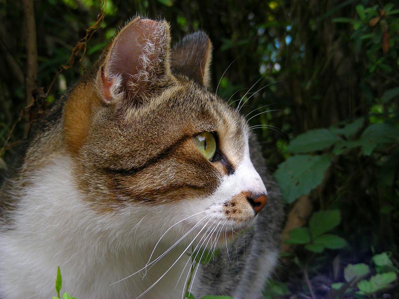 緑の瞳と赤い鼻のキジ白猫3