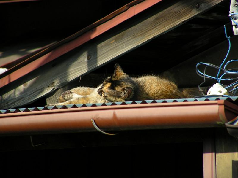 トタン屋根とサビ柄猫3