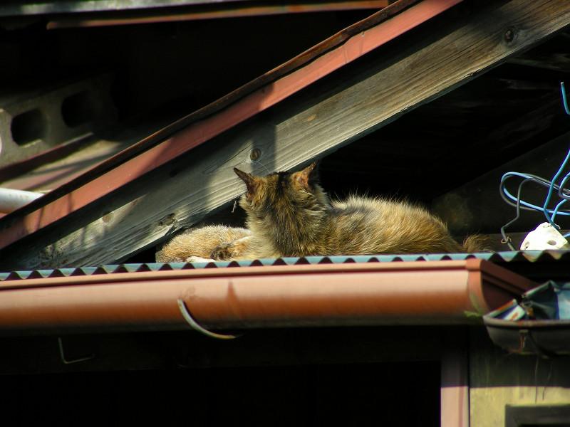 トタン屋根とサビ柄猫4