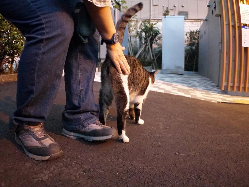 腰トントンのキジ白猫1