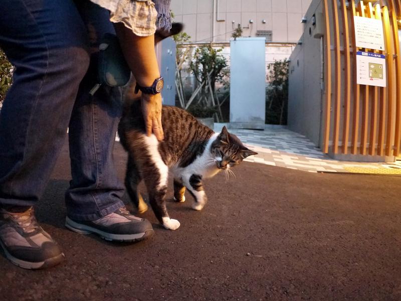 腰トントンのキジ白猫2