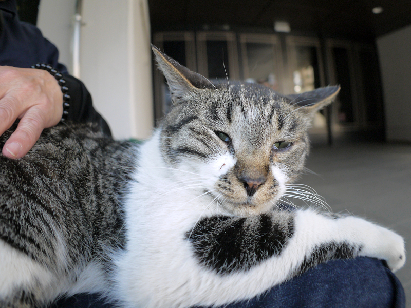 膝に乗り切ってるキジ白猫3