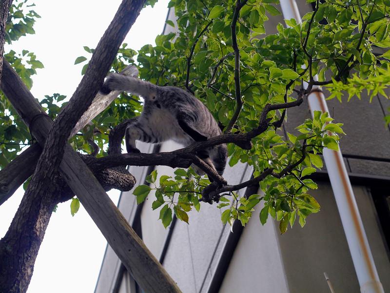 木の上で困ってるサバトラ猫1