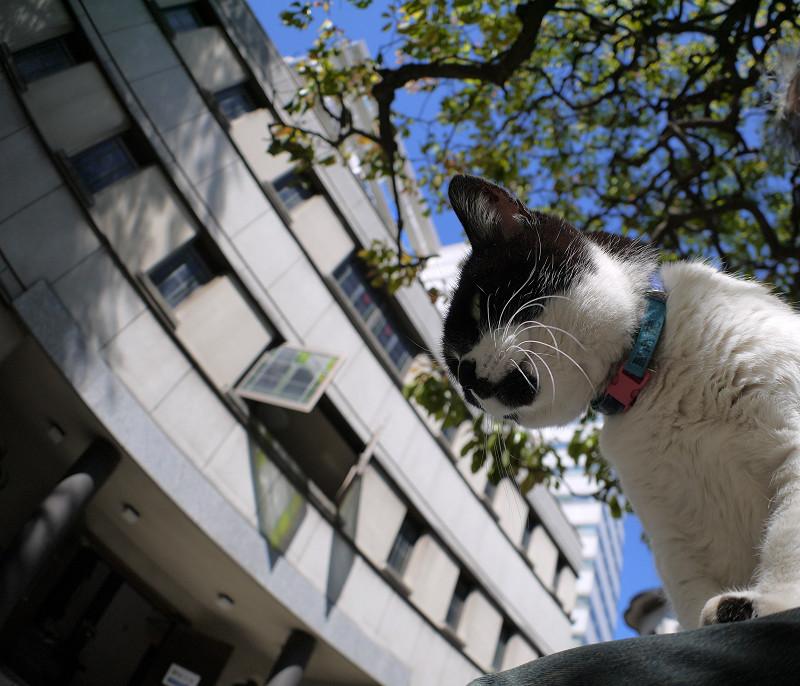 クスノキ下の白黒猫1