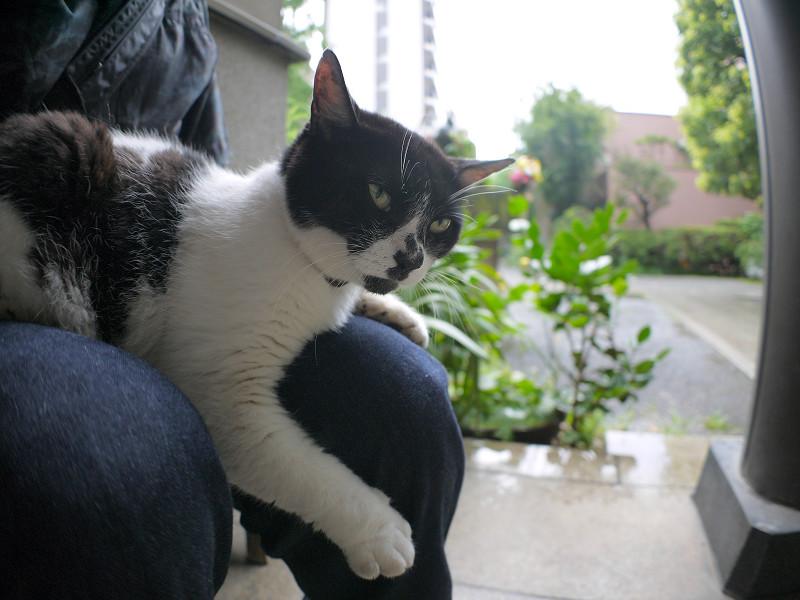 膝で寝ている白黒猫1