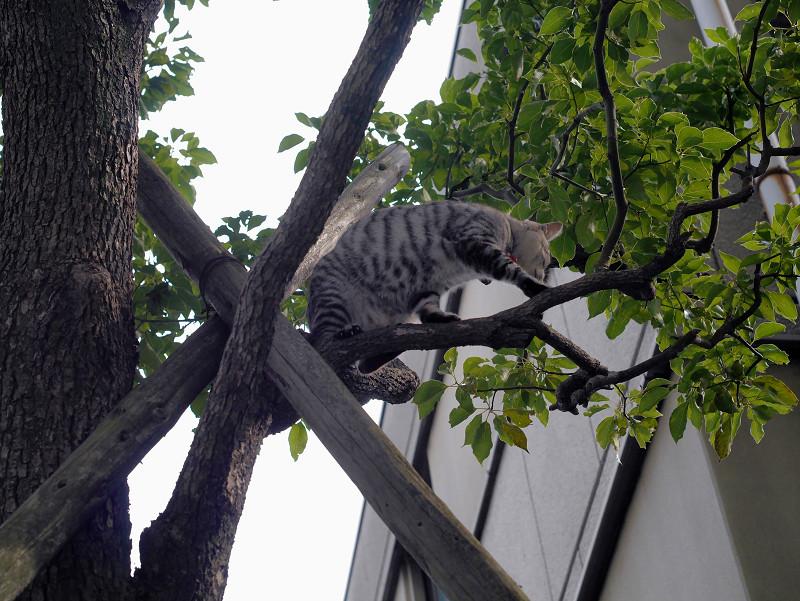 木の上で困ってるサバトラ猫2