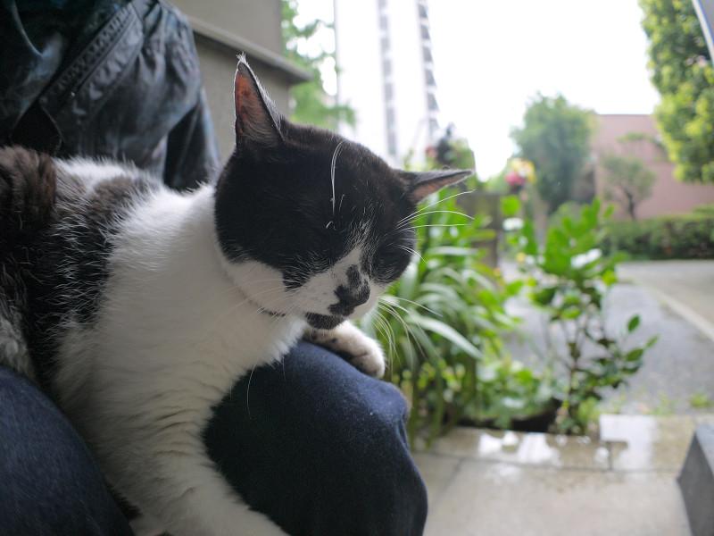 膝で寝ている白黒猫2
