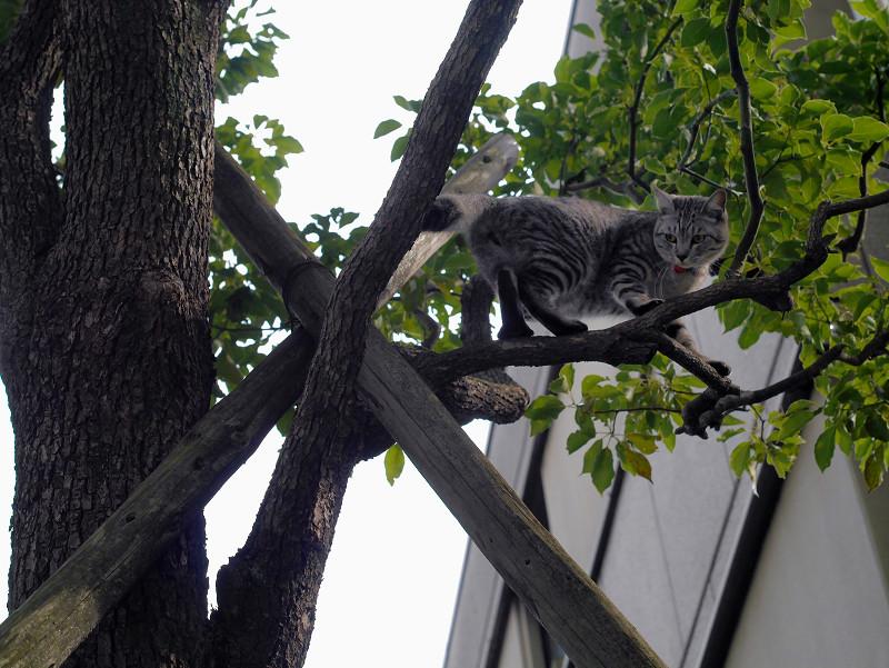 木の上で困ってるサバトラ猫3