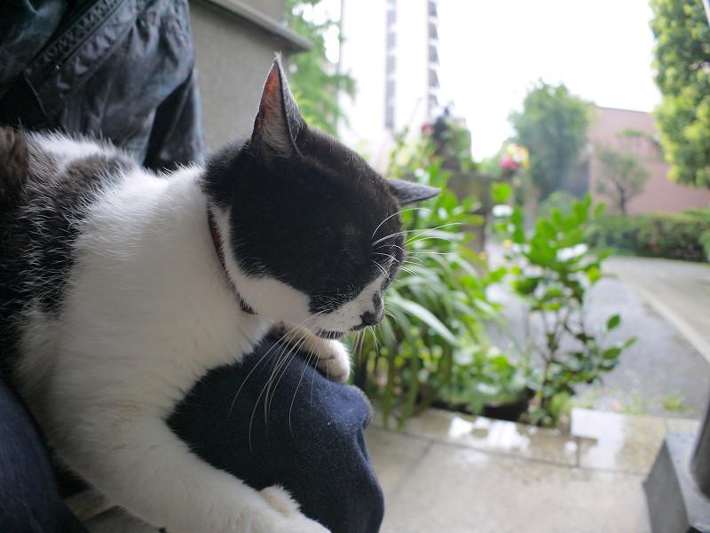 膝で寝ている白黒猫3