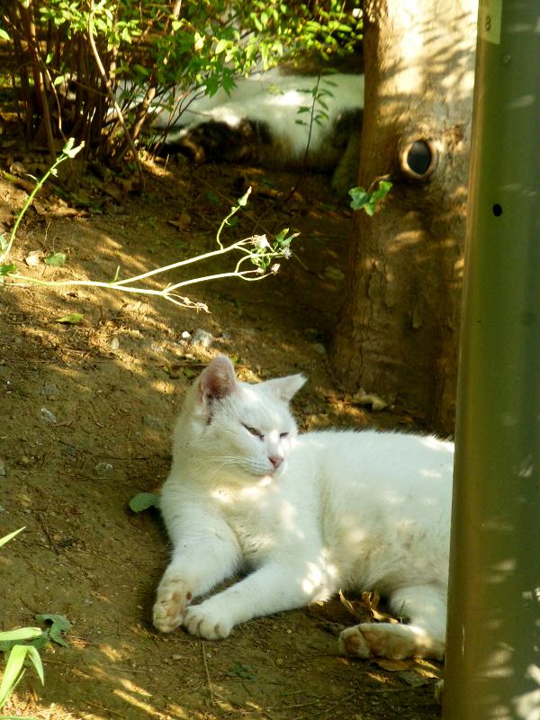 公園の白猫とキジ白猫1