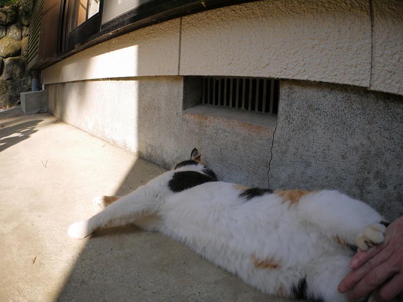 日陰の三毛猫2