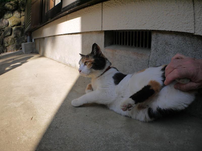 日陰の三毛猫3
