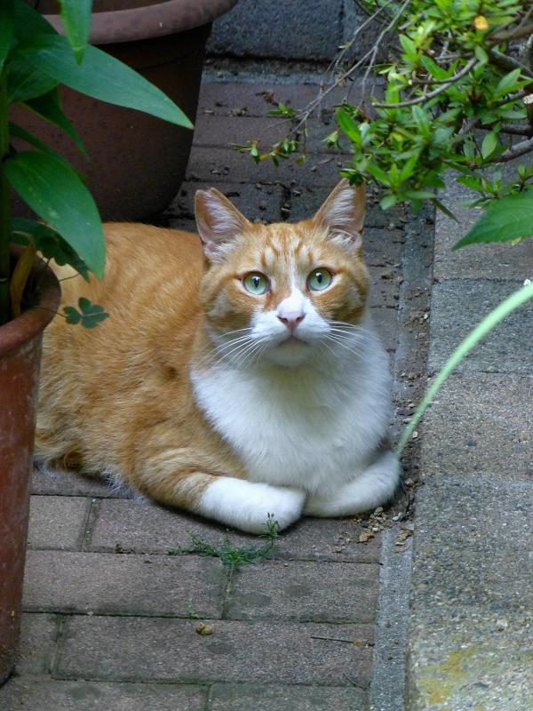 香箱で見てる茶白猫1
