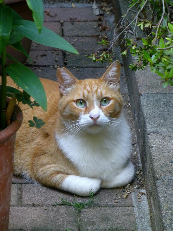 香箱で見てる茶白猫2