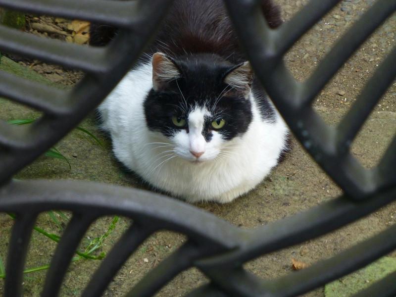 門扉の向こう側の黒白猫2