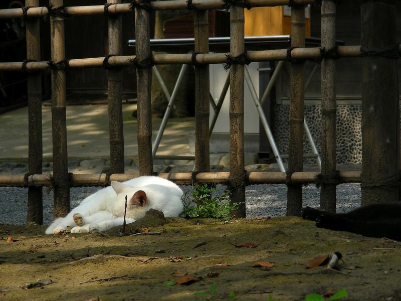 土の上で寝ている白猫1