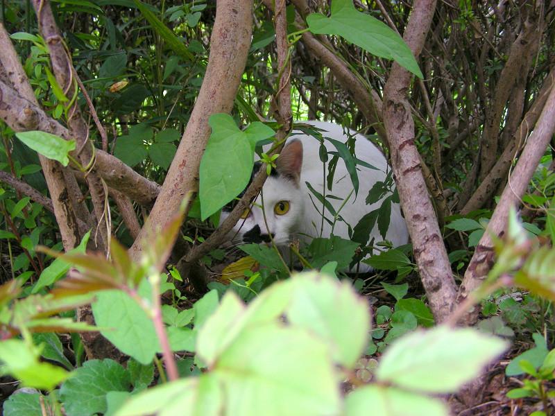 植え込みの中の白黒猫1
