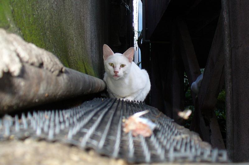 猫避けと白猫1
