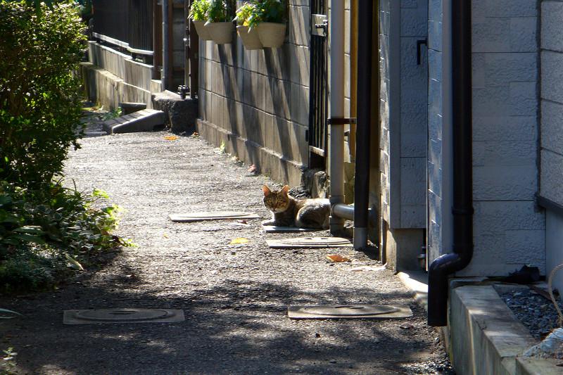 朝日と路地のキジトラ猫1
