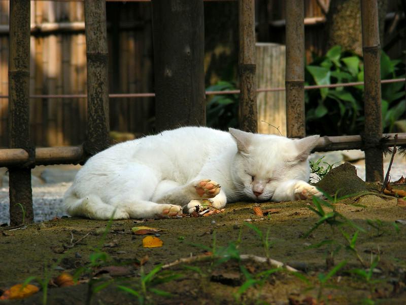 土の上で寝ている白猫2