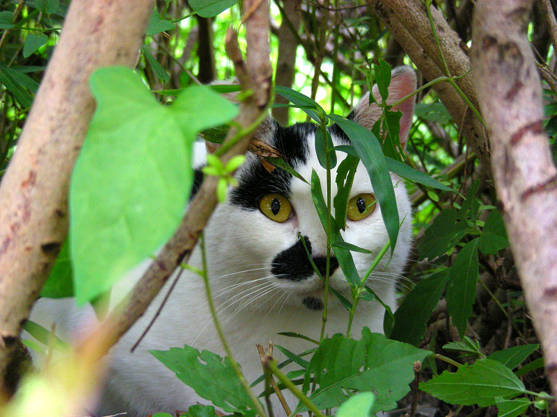植え込みの中の白黒猫2