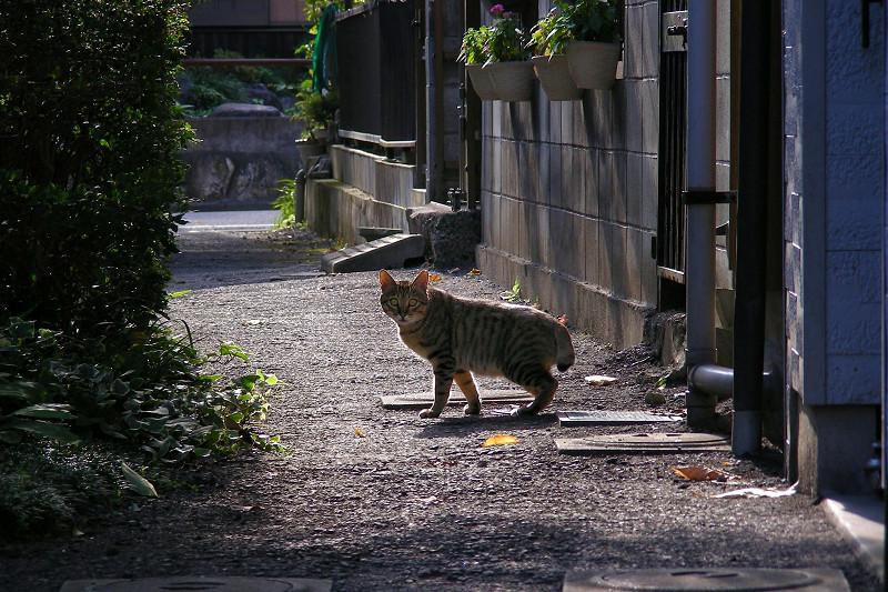 朝日と路地のキジトラ猫2