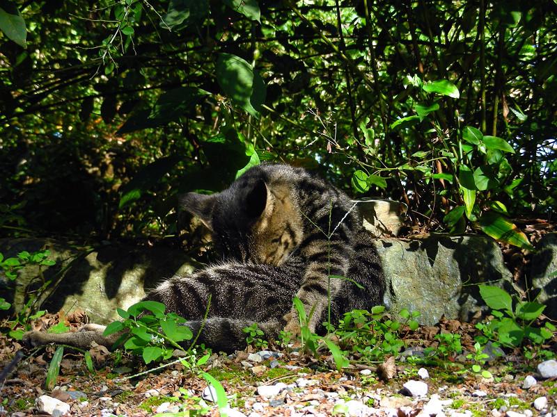 腹を毛づくろうキジトラ猫2
