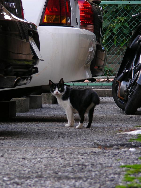 駐車場の黒白猫