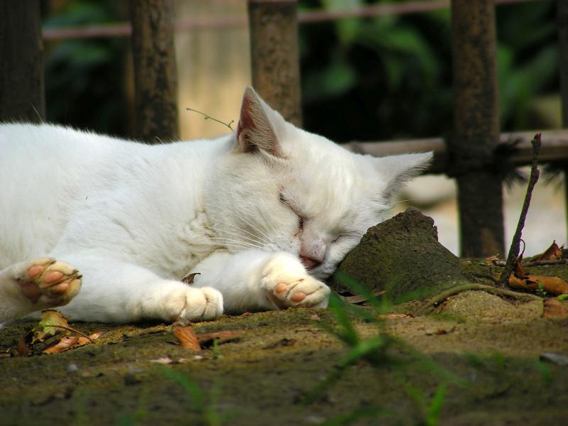 土の上で寝ている白猫3
