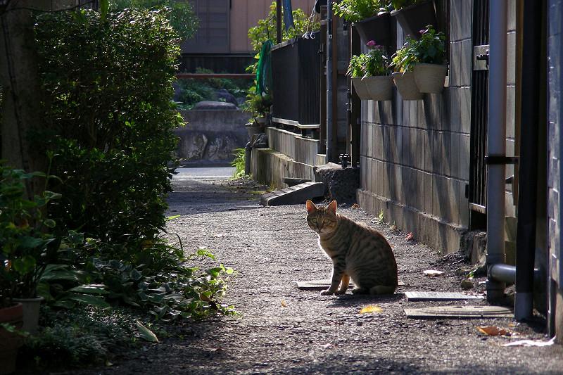 朝日と路地のキジトラ猫3