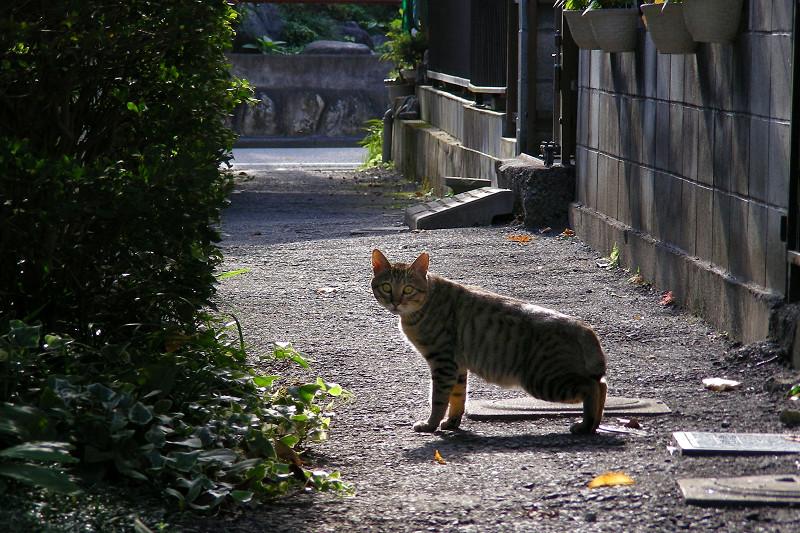 朝日と路地のキジトラ猫4