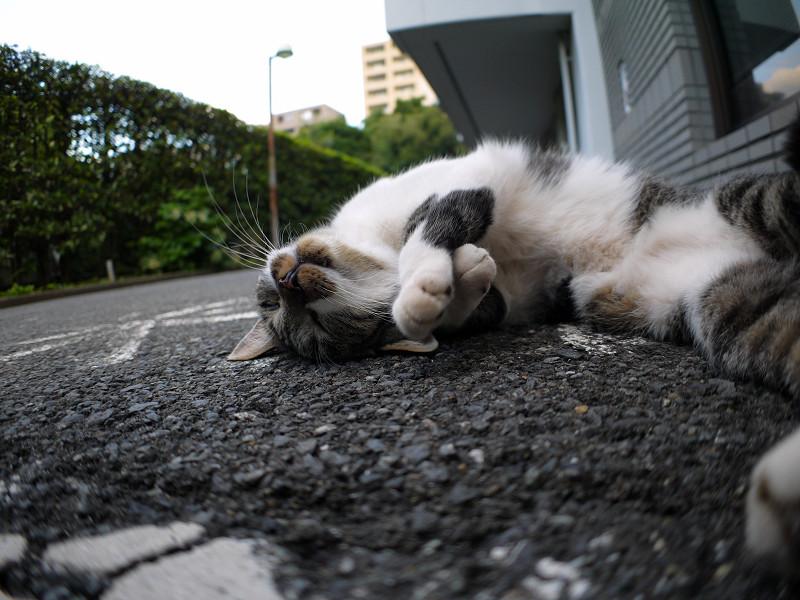 寝転がってるキジ白猫2