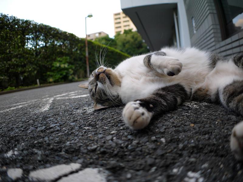 寝転がってるキジ白猫3