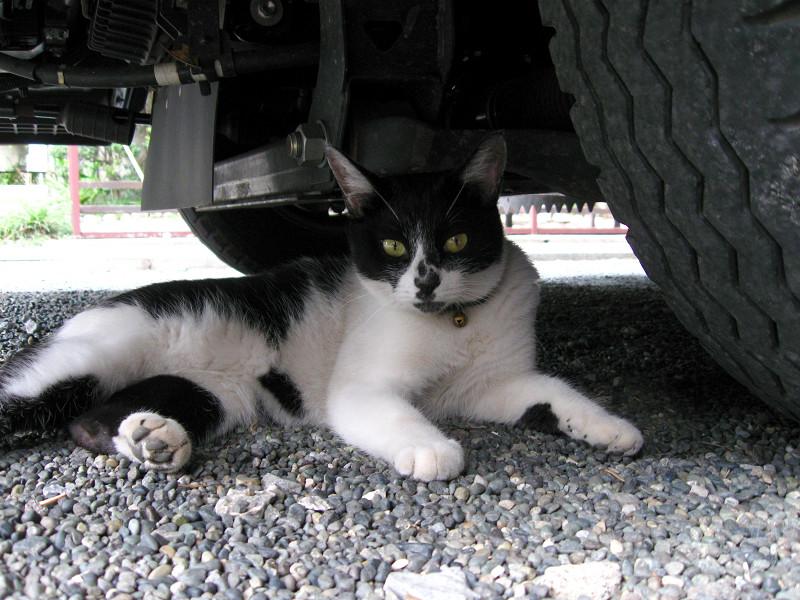 車の真下で休憩してる白黒猫
