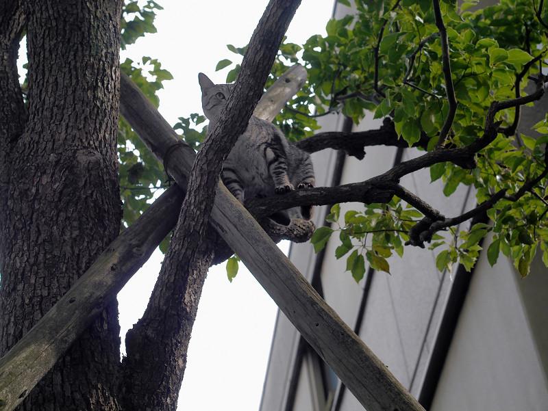 木から降りられたサバトラ猫1