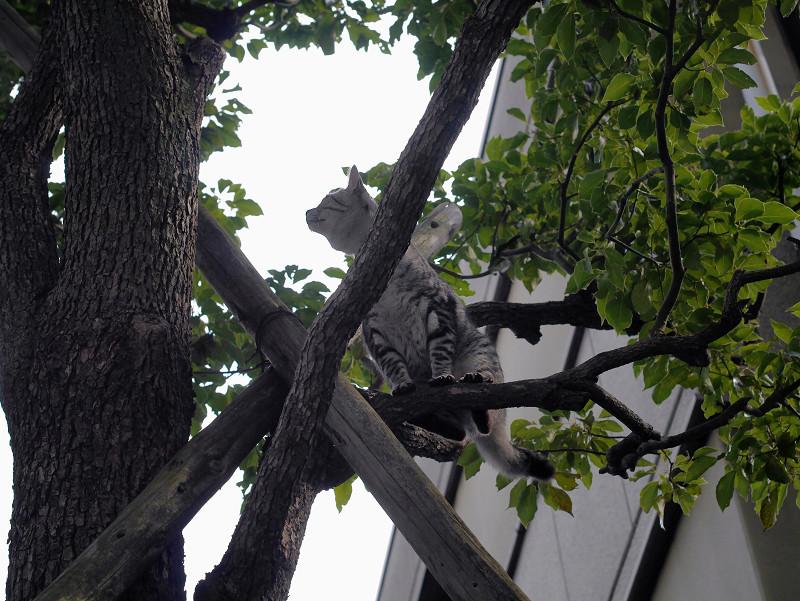 木から降りられたサバトラ猫2