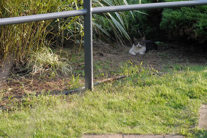 公園植え込みのキジ白猫