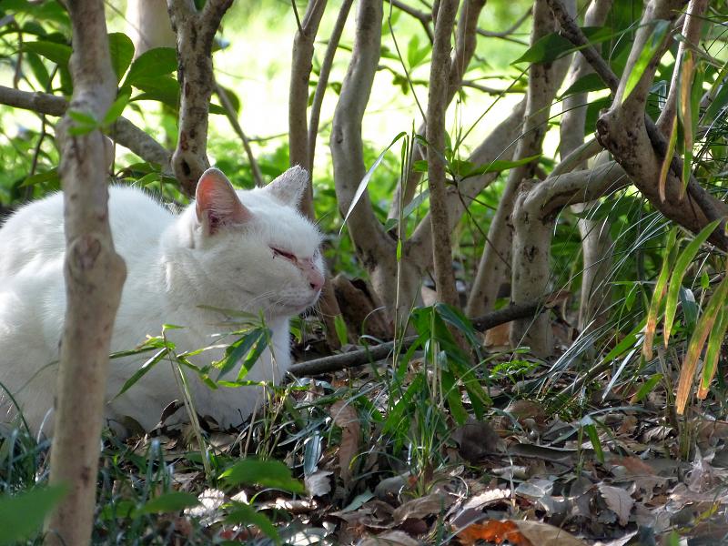 草薮の白猫1