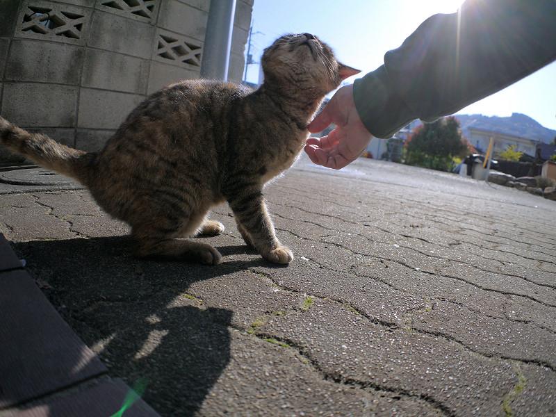 逆光の中で触られてるサビ柄猫1