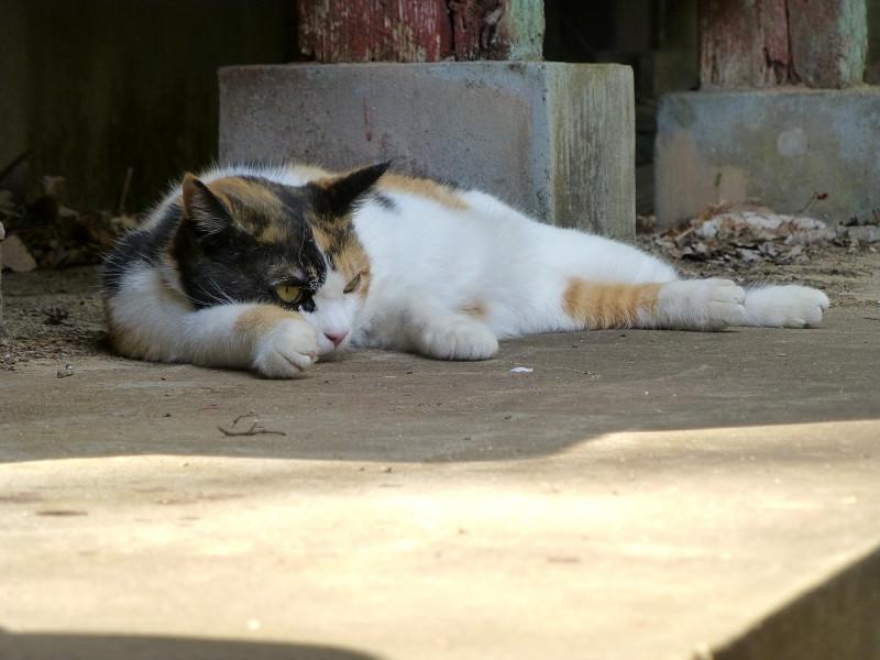 拝殿の横で休憩する三毛猫1