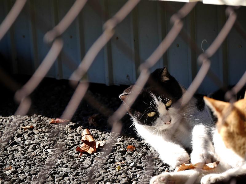 風に舞う落ち葉で遊ぶ黒白猫1