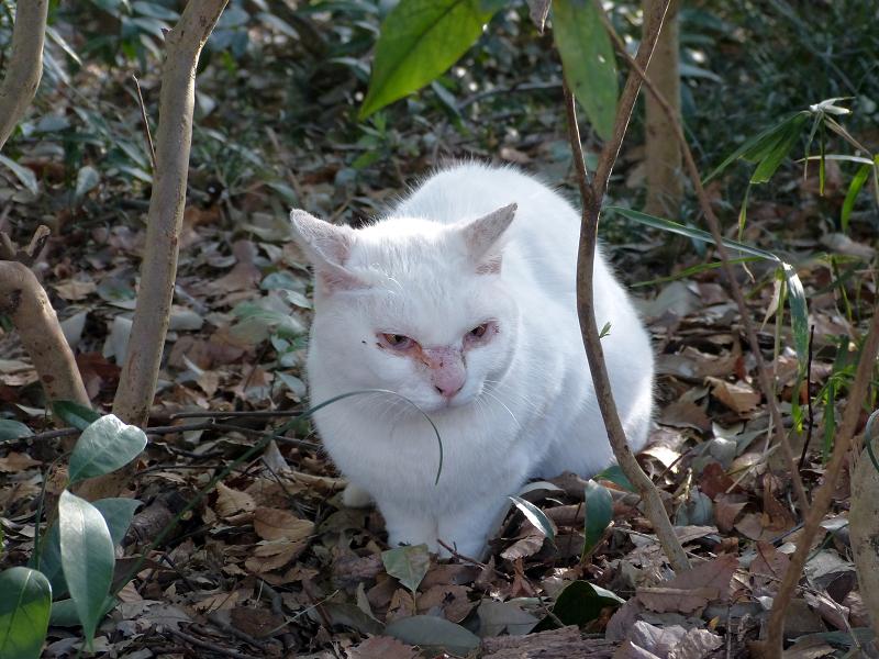 草薮の白猫2